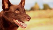 Red Dog - Trailer